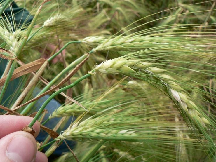 P1030857-recadrée-blé pouce